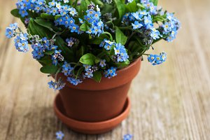 Forget-me-not flowers in small flowe