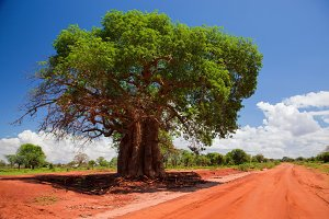 Baobab tree on red soil road