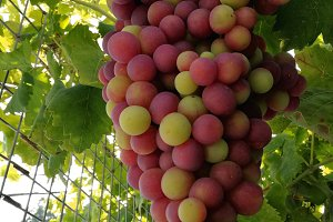 Red grapes ripening on the branch