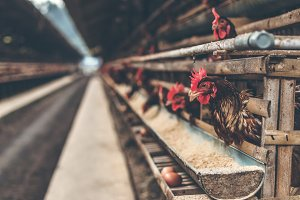 Chickens in the cage on chicken farm
