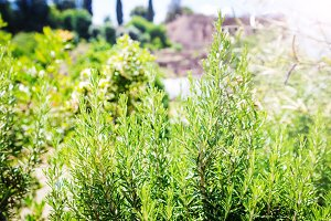Fresh Rosemary Herb grow outdoor.