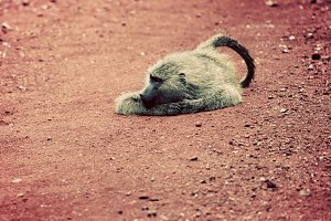 Baboon monkey lying on red ground