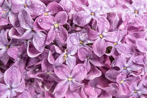 Spring lilac flowers with water drop