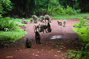 Group of Baboon monkeys in Africa