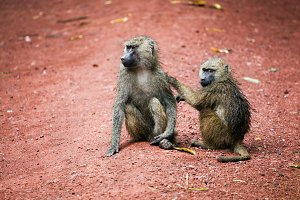Two Baboon monkeys in African bush
