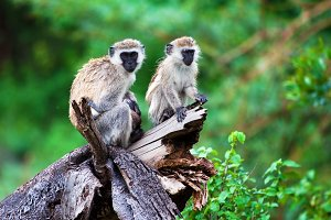 The vervet monkey in bush, Tanzania