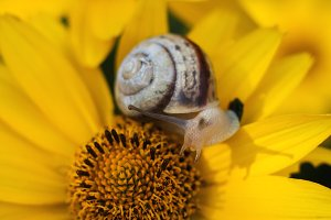 Snail on a yellow flower