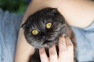 Cute Scottish fold black cat in the