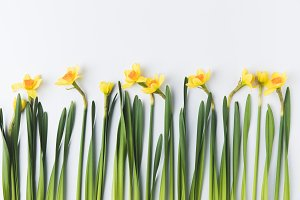 beautiful blooming yellow daffodils