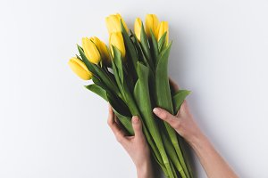 beautiful yellow tulips in human han