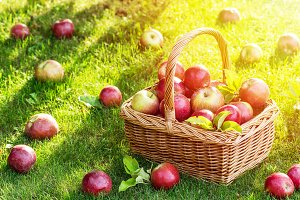 Apple harvest. Ripe red apples in th