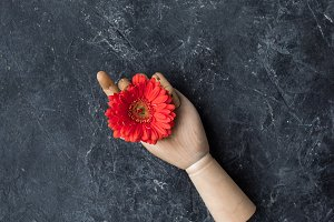 Mannequin hand with gerbera flower o
