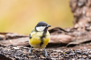 Great tit or parus major perched