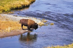The bison drinks water