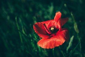 Single poppy flower in a green grass
