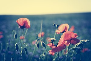 Poppy flowers on the green field in