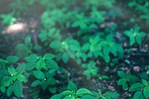 Multiple little green plants growing