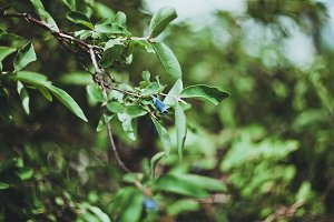 Blue honeysuckle (Lonicera)