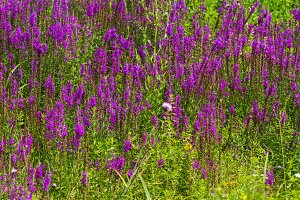 purple flowers among the green grass