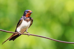 barn swallow is sitting on the wire