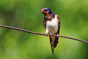 barn swallow , Hirundo rustica sits