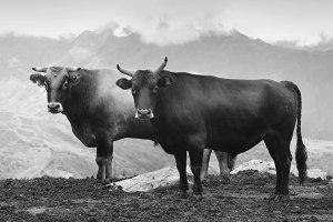 Bullls