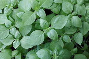 Fresh green basil leaves background