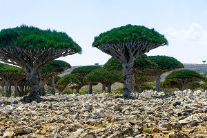 Dragon tree forest, endemic plant of