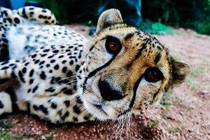 Cheetah in savannah