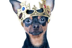 Dog in the crown, like a king