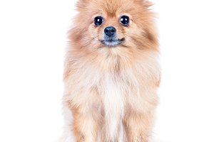 Dog, pomeranian isolated on white, s