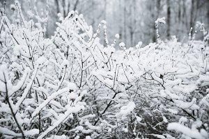 Trees, bushes in the snow