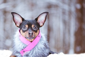 Lovely Dog in fur coatr in a winter