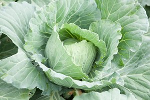 Tree cabbage