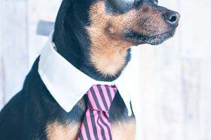 A dog, toyterrier a tie