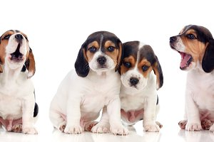Six beautiful beagle puppies