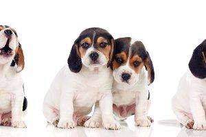 Six beautiful beagle puppies