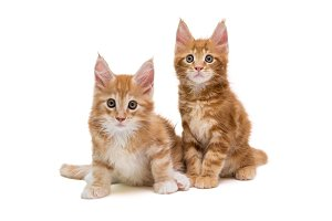 Two Maine Coon kittens