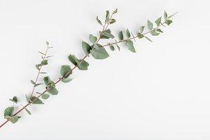 Branch of ucalyptus on white backgro