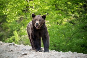 European brown bear in a forest land