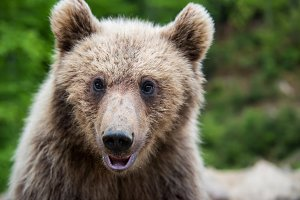 Brown bear (Ursus arctos) portrait i