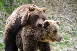 Brown bears mating in forest