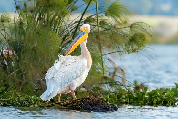 Animal Stock Photos - Great white pelican