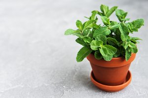 Fresh mint in a pot