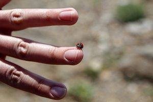 Ladybug in a finger