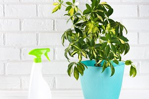 Flower schefflera in pot on white br