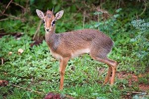 Small antelope (dik - dik) in Africa