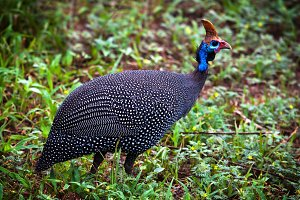 The Helmeted Guineafowl, Africa