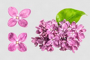 PNG Spring lilac flowers