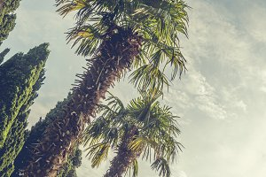 vintage toned palm trees against the